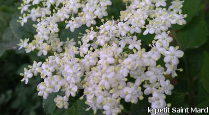 1_P_fleur_de_sureau2_blanc